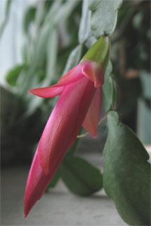New Rhipsalis flower