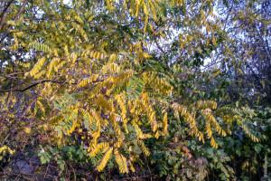 Acacia yellow leaves